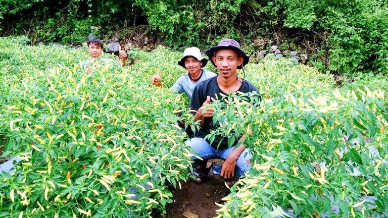 Mengintip Peluang Agrowisata di Kota Ruteng